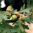Pyrenean oak (<i>Quercus pyrenaica</i>)