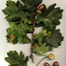 Pedunculate oak (<i>Quercus robur</i>)