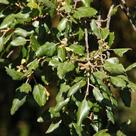 Cork oak (<i>Quercus suber</i>) - Leaves