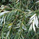White willow (<i>Salix alba</i>) - Leaves