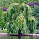Weeping willow (<i>Salix sepulcralis</i>)
