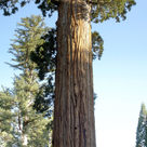 <i>Sequoiadendron</i>: the General Grant tree