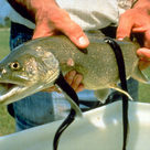 Lampreys attached to a trout