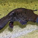 Platypus (II)