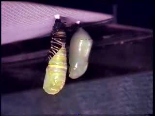 Monarch butterfly caterpillar pupating